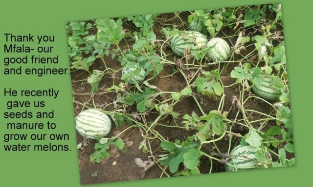 GROWING WATER MELONS